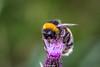 BuffTailedBumbleBee-0002.jpg (vorneo) Tags: bumblebee classinsecta kingdomanimalia bufftailedbumblebee orderhymenoptera wild familyapidae genusbombus phylumarthropoda insect speciesbterrestris subgenusbombus binomialnamebombusterrestris