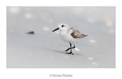 Kleiner Wattvogel (florianpluecker) Tags: birding birdwatching wading wattvogel sanibel island florida usa strand beach