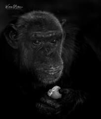 Chimp Eating Boiled Egg (Karen Miller Photography) Tags: edinburghzoo zoo captivity edinburgh captive ape chimp chimpanzee monochrome animal nikon rzss scotland enclosures karenmillerphotography