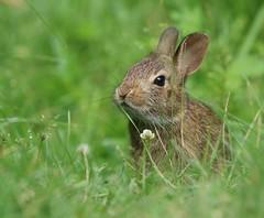 Baby Rabbit (Jeannine St. Amour) Tags: animal rabbit baby nature wildlife ngc