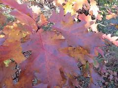 Quercus rubra (Ours33) Tags: fallcolors redoak quercusrubra