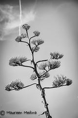 Lightening Strikes B&W (Maureen Medina ArtiZenImages Photography) Tags: maureenmedina artizenimages centuryplant bloom flowering bw clouds