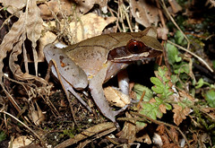 Mangshan Horned Toad (Xenophrys mangshanensis) (cowyeow) Tags: mangshan hornedtoad xenophrys mangshanensis horned toad xenophrysmangshanensis frog composition cute amphibian herps herping herpetology herp chinese china asian asia nature wildlife