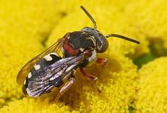 Epeolus variegatus f - 05 VII 2017 (el.gritche) Tags: hymenoptera france 40 garden apidae epeolusvariegatus female tanacetumvulgare bee abeille