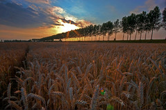 yet another Biervliet polder wheat hdr (expatwelsh) Tags: trees sunset sky sun dyke polder hdr manfrotto photomatix biervliet 4exp pse6 topazadjust topazdenoise topazdetail
