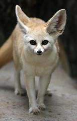 Fennec fox (floridapfe) Tags: cute eye nature face animal zoo korea fox ear fennec everland  fennecfox