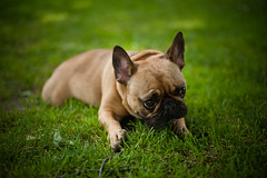 I am cute. (Penelope's Loom) Tags: dog cute green grass boston nikon bulldog 50mm14 frenchbulldog bostoncommon d700