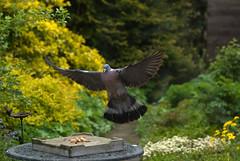 Dove in my backyard - 1 - (Walraven) Tags: bird birds garden backyard feeding dove vogels feed tuin vogel achtertuin duif voeren