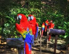 Scarlet Macaw Parrots, Playa Del Carmen Mexico HDR