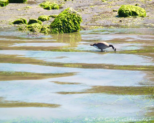 Canadian Goose on Bellingham Bay