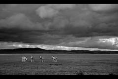 Lake George Zebras B&W