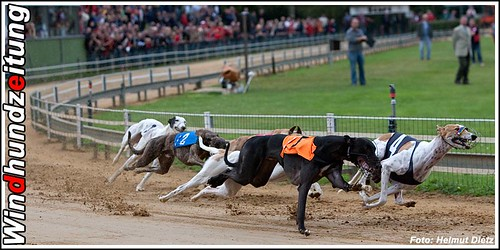FCI Windhund EM 2009: Greyhound Rüden Finale