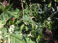 gardenbrassicas
