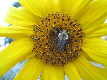 sunflowerBee