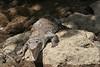 "Crocodile on rocks • <a style=""font-size:0.8em;"" href=""https://www.flickr.com/photos/46837553@N03/4964900242/"" target=""_blank"">View on Flickr</a>"