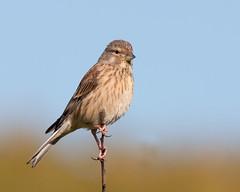 Female Linnet (Andrew Haynes Wildlife Images) Tags: bird nature wildlife northumbria warkworth canon40d ajh2008