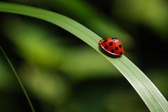 "Ladybird (""The Wanderer's Eye Photography"") Tags: india slr closeup canon eos ladybug dslr canon450d canonrebelxsi rubenalexander thewandererseye"