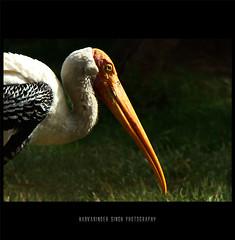 Heron ! (Harvarinder Singh) Tags: india heron nature birds wildlife beak chandigarh longbeak sonyh7 concordians harvarindersinghphotography harvarindersingh longorangebeak chhattbirzoo