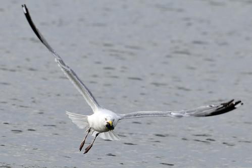 gull catches clam 4
