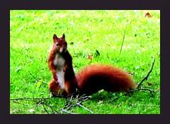 (Heide (vorher roeschen56)) Tags: wiese braun wald eichhrnchen