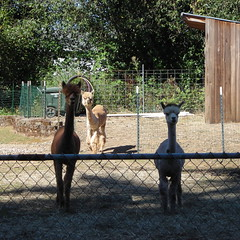 Three curious llamas
