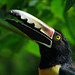 "Happy toucan • <a style=""font-size:0.8em;"" href=""http://www.flickr.com/photos/15025321@N03/4981601232/"" target=""_blank"">View on Flickr</a>"