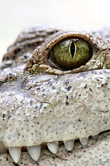 Are you scared? (Lea's UW Photography) Tags: zoo eyes teeth krokodile crocodilia canon7d leamoser