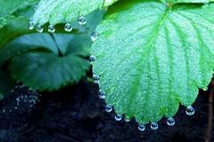 Dewdrops (abi.d) Tags: garden dewdrops leaf raindrops strawberryplant