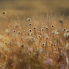 nature's drumsticks (Sandra Bartocha) Tags: fall herbst meadow wildflowers mritznationalpark drygrassland csandrabartocha wwwbartochaphotographycom 20yearsmritznationalpark trockenrasenwiesen farbklangwildnis