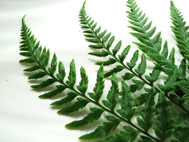 IMG_2677 Fern Leaves
