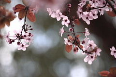 Plum blossoms (kth517) Tags: spring australia melbourne victoria  plumblossoms southmelbourne    topest