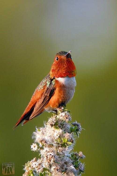 Allen's Hummingbird 02101-4