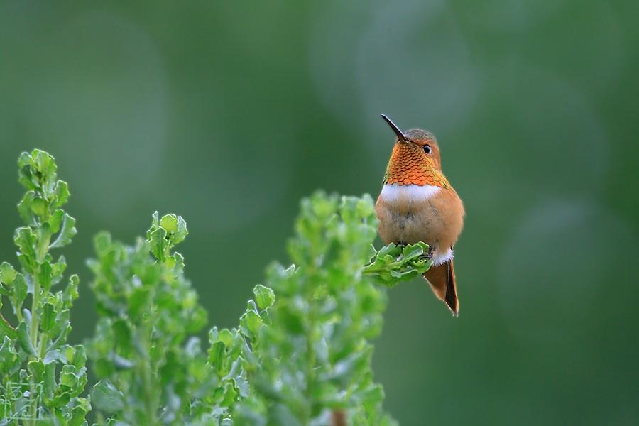 Allen's Hummingbird 05101-2