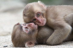 Lovers? (Masashi Mochida) Tags: baby snow japan monkey lovers nagano jigokudani supershot abigfave impressedbeauty rubyphotographer