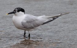 Sandwich Tern_1small