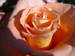 Image 541 (xwelhamite) Tags: rose rosaceae closeuprose