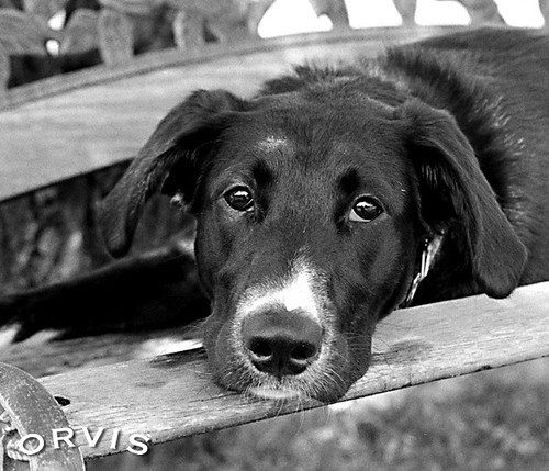 Orvis Cover Dog Contest - Daisy