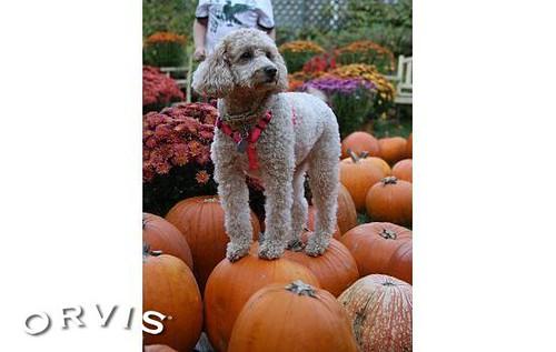 Orvis Cover Dog Contest - Midge