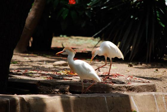bubulcus_ibis_02