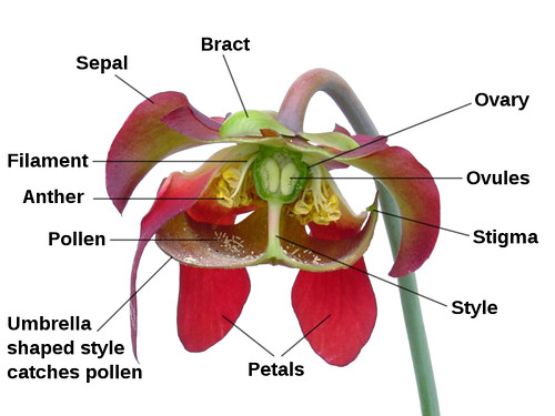 800px-Sarracenia_flower_notitles.svg copy