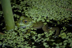 Water Frog (Crystal Images1) Tags: cute green eye nature animal animals moss eyes pad amphibian toads frog lilly toad frogs amphibians lillypad pads algea
