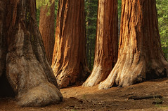 Bachelor and Three Graces, Mariposa Grove, Yosemite National Park (andrew c mace) Tags: california nationalpark bachelor yosemite threegraces yosemitenationalpark mariposagrove sequoias wawona photomatix blendedexposures colorefex nikoncapturenx nikkor35mm nikond90 exposurefusion
