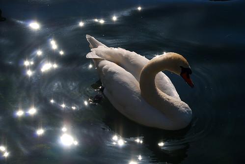 Swan-1_s