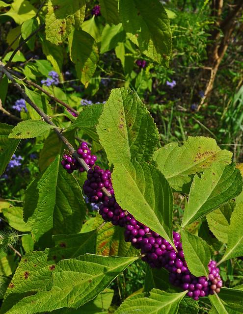 Callicarpa americana and Conoclinium coelestinum
