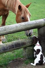 IMG_5684 (chrisgandy2001) Tags: horse dog cute english ess puppy ears spaniel springer springerspaniel doggy pup warwickshire puppydog englishspringerspaniel englishspringer