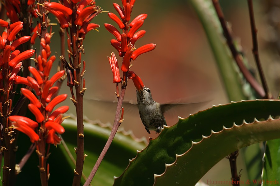 Anna's Hummingbird 01101-4