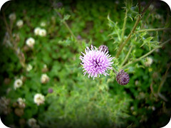 thistle (Halle Ross) Tags: canada flower green nature weed purple thistle alberta picnik sherwoodpark