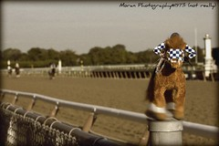 The Long Lost Photo of Secretariat's Belmont Stakes-31 Lengths :) (EASY GOER) Tags: horses horse sports animals racetrack digital canon movie athletics action competition running racing entertainment hero runners spoof athletes races legend reenactment equine competion thoroughbreds 2010 secretariat belmontstakes sportofkings nyra spood thoroughbed