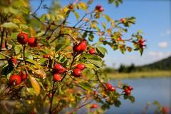 nochmal hagebutte (la_terri) Tags: see wasser pflanze himmel wald frucht schwarzwald hagebutte