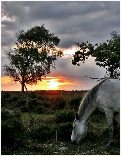 New Forest wild horse